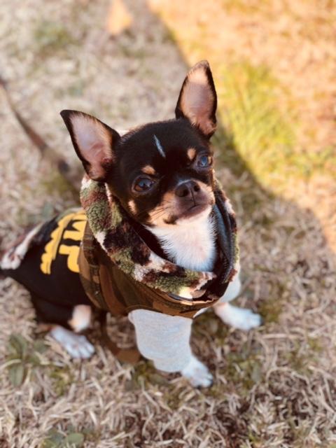 我が家の愛犬!スムースチワワ